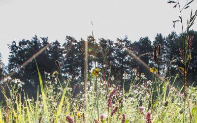 Pflanzenwelt der Wiesen