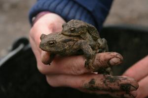 Zwei Erdkröten die über Nacht im Eimer gelandet sind.